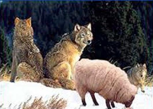 domba-serigala