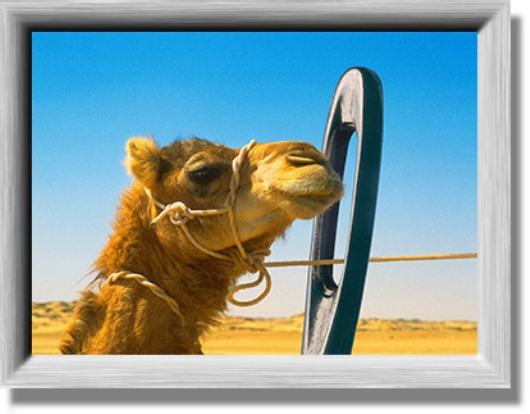 camel-facing-a-needlex
